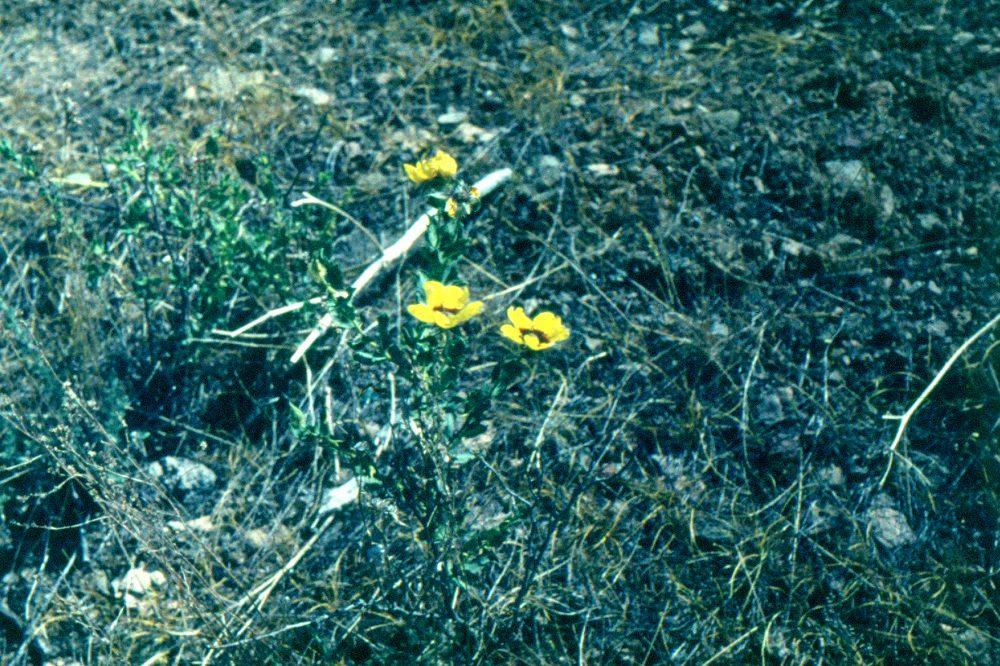 Пустыня Кызылкум цветы