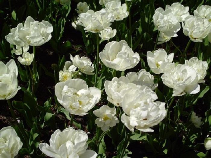 Голландия тюльпаны фото