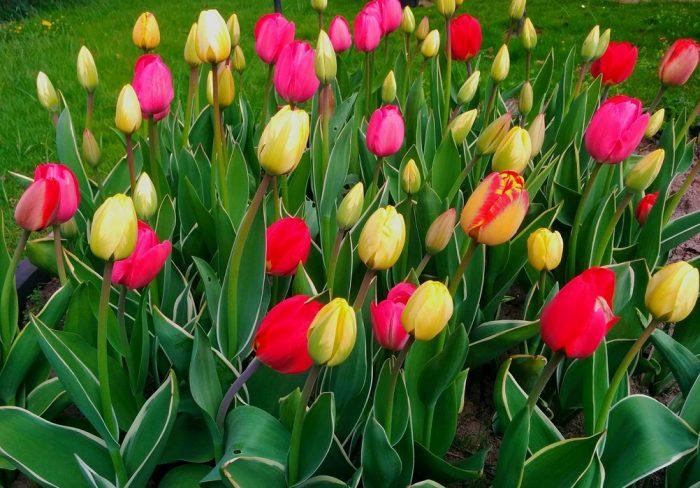 Парк тюльпанов Кекенхоф отзывы