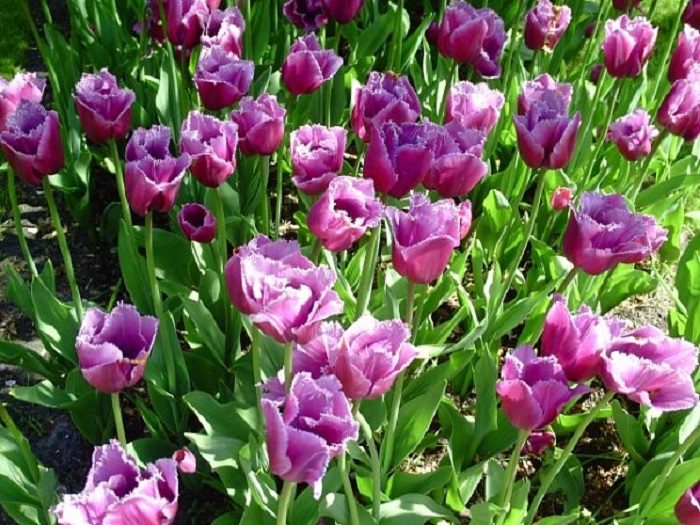 Кекенхоф тюльпаны фото