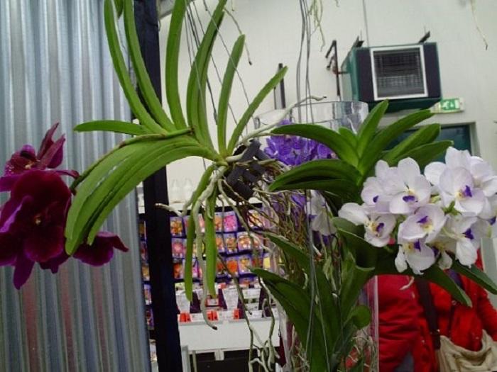 Орхидеи Голландия фото